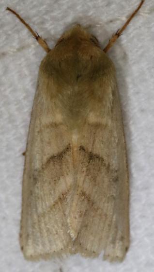 Chloridea virescens - Tobacco Budworm Moth - Chloridea virescens