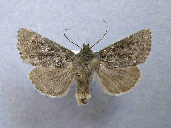 10341 - Lasionycta phoca