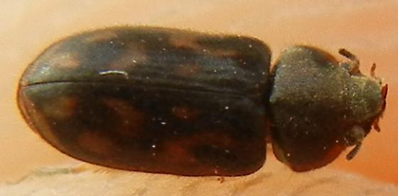 coolest beetle - Heterocerus
