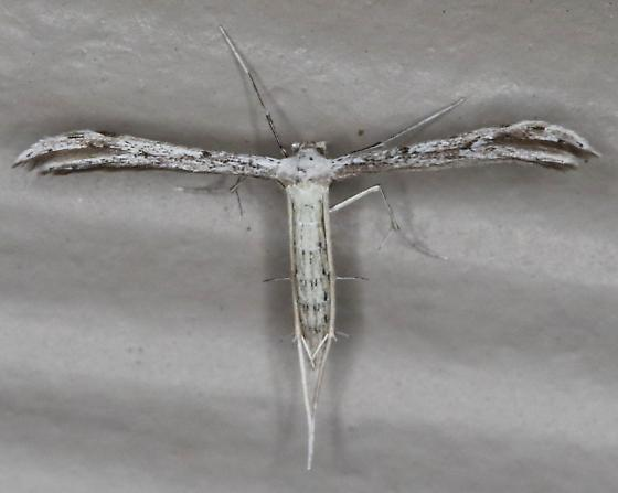 Pselnophorus belfragei - Belfrage's Plume Moth - Pselnophorus belfragei