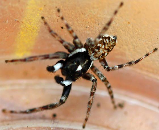 Jumping Spider - Menemerus semilimbatus - male
