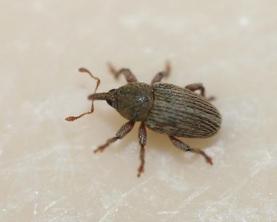 Small weevil - Tychius stephensi
