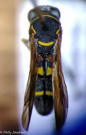 wasp - Leucospis affinis