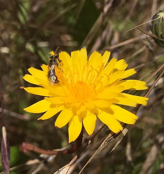 Small metallic bee - Lasioglossum - female