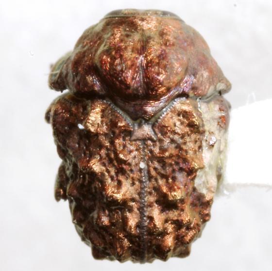 Neochlamisus bebbianae (Brown) – complex - Neochlamisus bebbianae - male