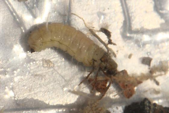 Caddisfly Larvae - Neophylax