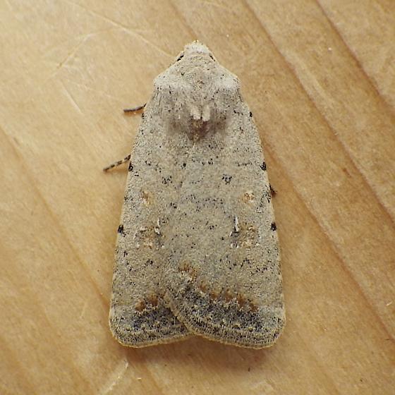 Noctuidae: Caradrina montana - Caradrina montana