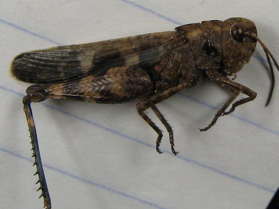 Encoptolophus sp? - Encoptolophus sordidus