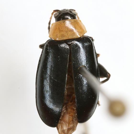 Disonycha xanthomelas (Dalman) - Disonycha xanthomelas