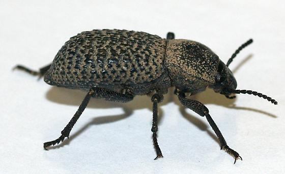 Desert Teneb - Cryptoglossa variolosa
