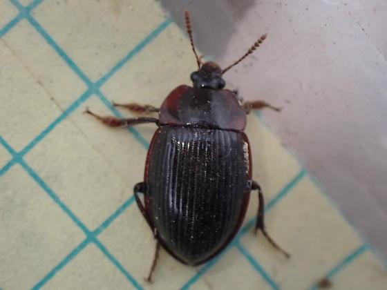 Coleoptera  - Necrophilus hydrophiloides