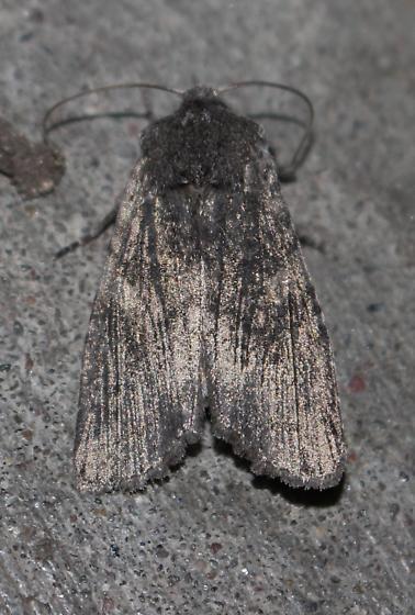 Unknown gray moth - Lithophane