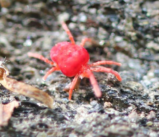 red velvet mite - Trombidium