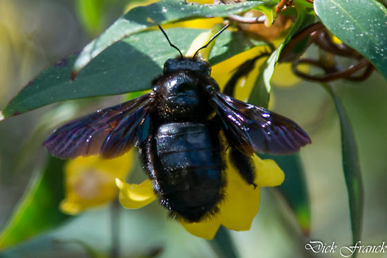 Black bee - Xylocopa - female