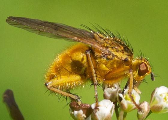 unknown saffron-colored fly - Scathophaga stercoraria