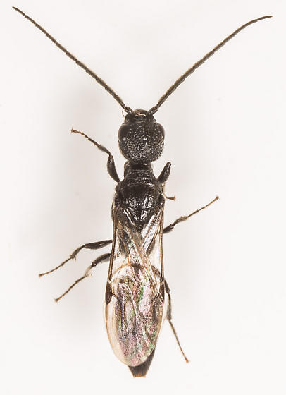 Wasp - Pristepyris - male