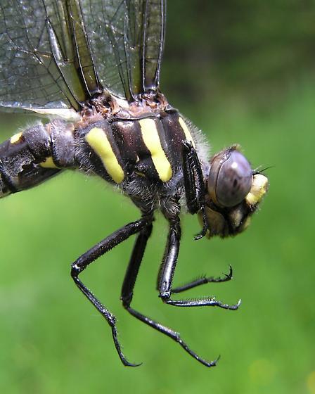 Pacific Spiketail - Cordulegaster dorsalis - female