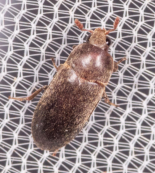 Beetle for ID - Dermestes ater