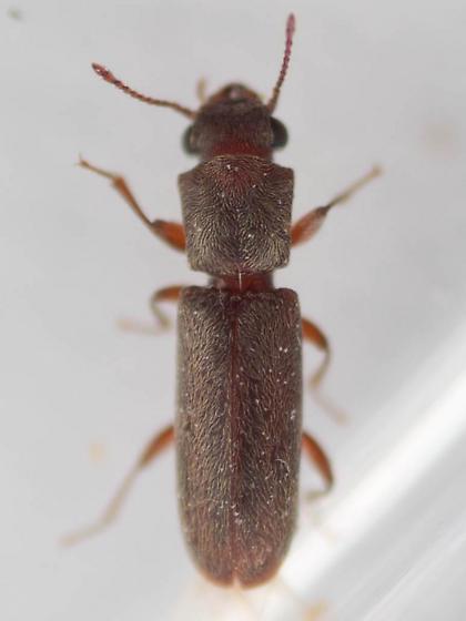 Unid. beetle I - Trogoxylon parallelipipedum