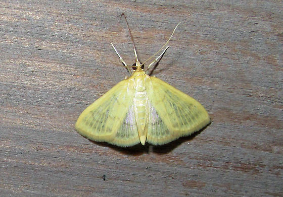 Moth - Hahncappsia