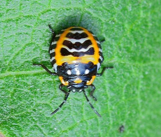 Harlequin Bug Nymph from Milkweed Murgantia histrionica)? - Murgantia histrionica