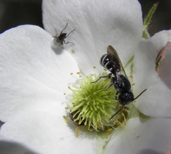 Bee on Apache Plume - Heriades