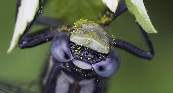 clubtail dragonfly - Phanogomphus borealis