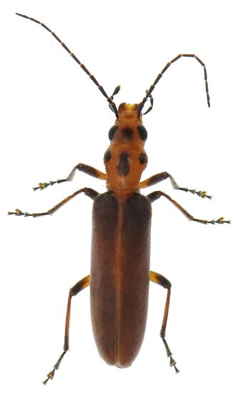 Possible Xanthochroa lateralis - Oxacis trimaculata
