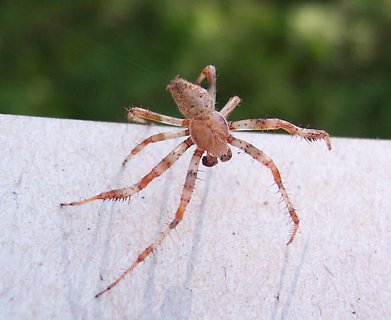Tan spider - Araneus - male