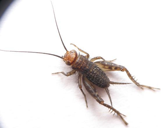 Small Cricket - ID? - Neonemobius near-to-mormonius - female