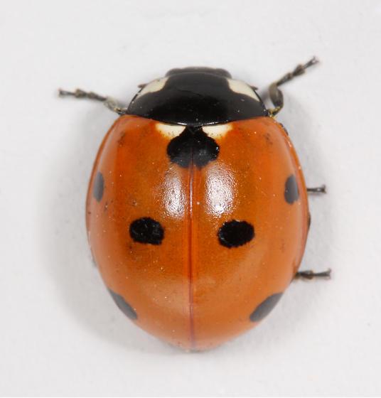 BG2555 E1596 - Coccinella septempunctata