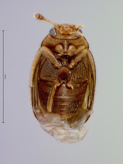 Mycetophagid  - Thrimolus minutus
