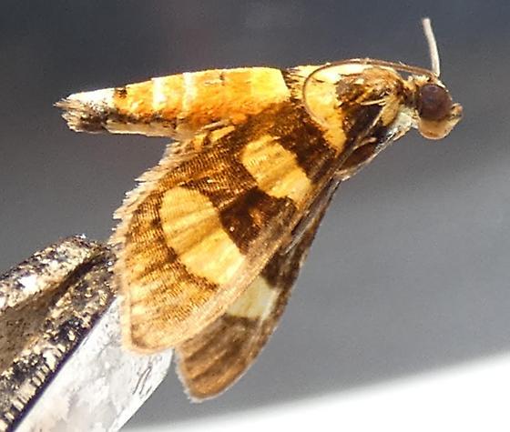 Syngamia florella