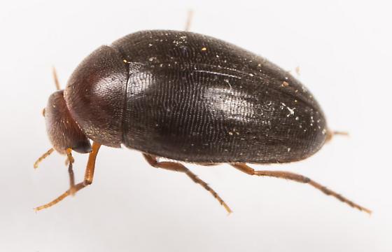 Beetle - Eucinetus strigosus
