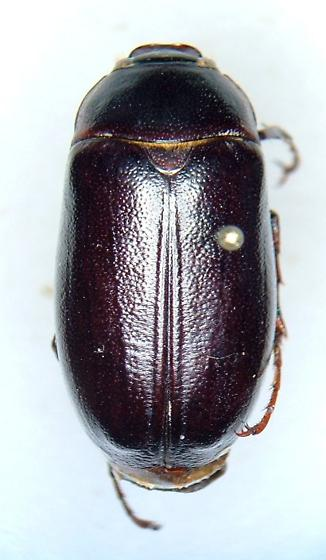 Phyllophaga fervida - male