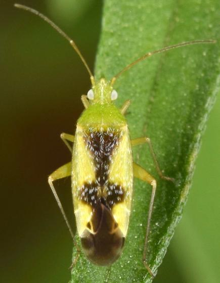 Plant bug - Reuteroscopus ornatus