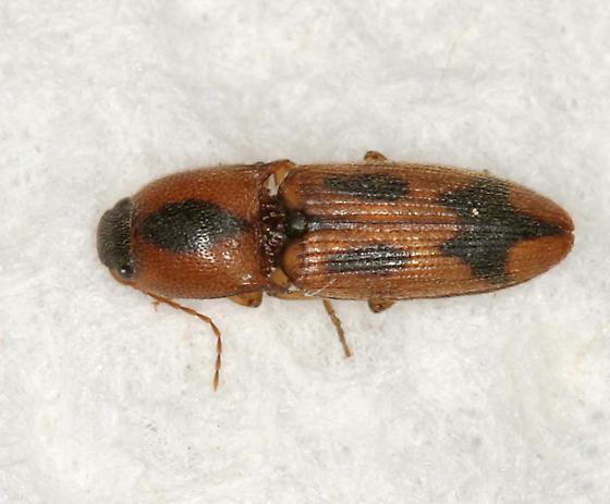 small click beetle - Aeolus