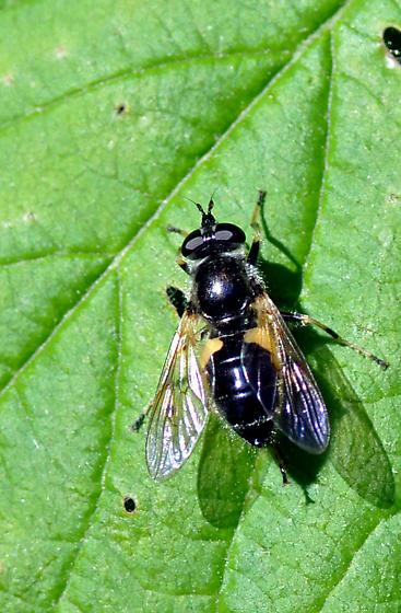 Large Fly - Blera badia