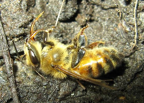 The recurring Writhing Bee - Apis mellifera - female