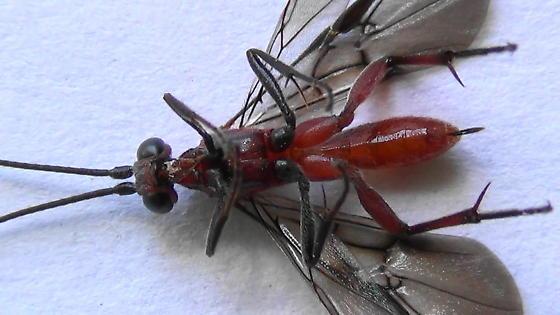 A Braconid Wasp (ventral) - Zelomorpha arizonensis - female