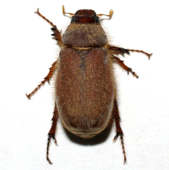 Lighter, shorter-haired Phyllophaga  - Phyllophaga tarsalis