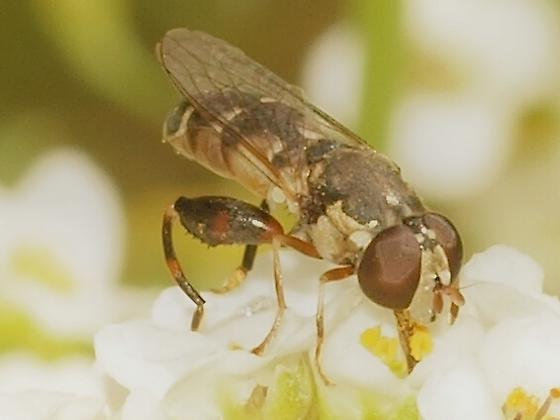 Syrphidae? 6b - Syritta pipiens