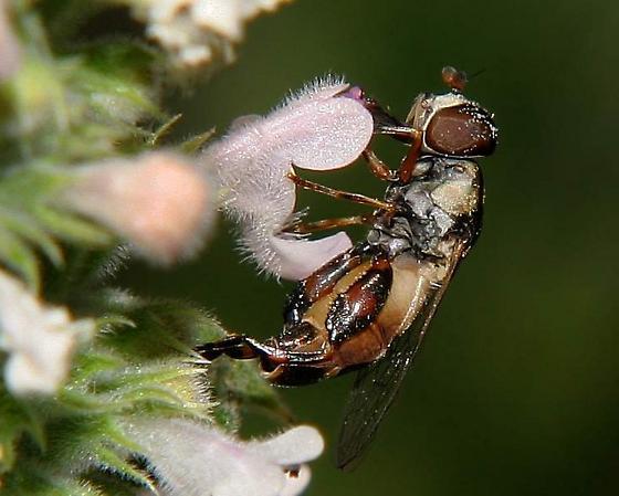 small dark fly - Syritta pipiens - female