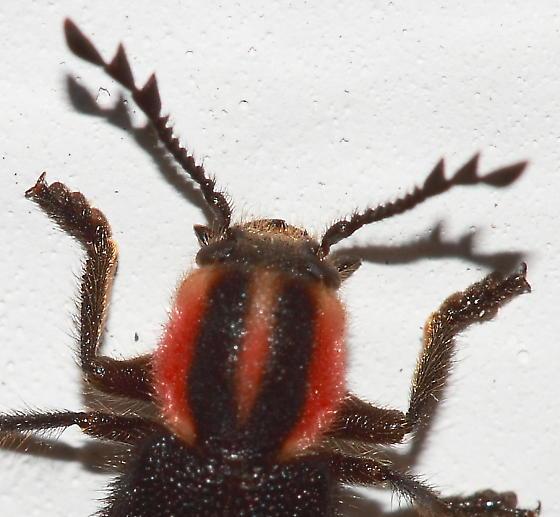 Beetle - Chariessa pilosa
