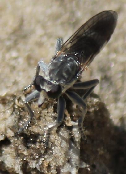 Asilidae #2 - Stichopogon trifasciatus