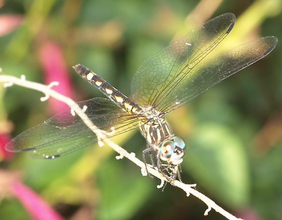 Small dragonfly - Micrathyria hagenii - female