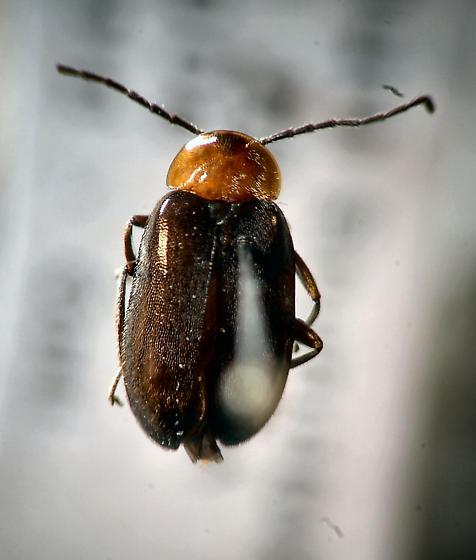 Marsh beetle ? - Elodes - male