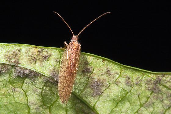 moth? - Micromus posticus