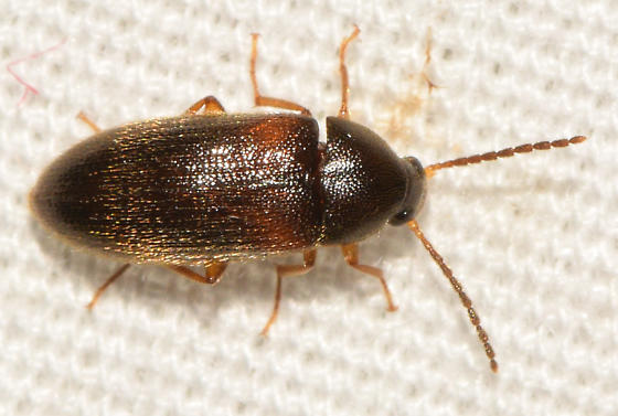 beetle072718c - Mycetochara