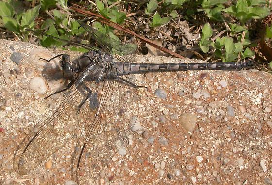 Gray Petaltail - Tachopteryx thoreyi - male
